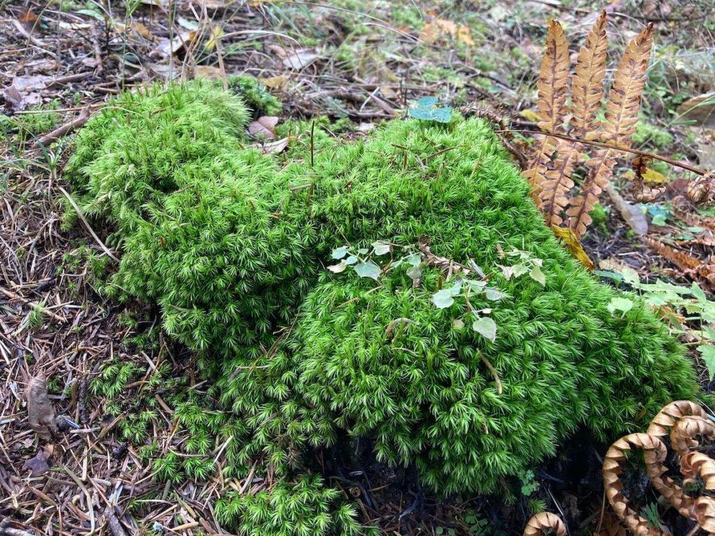 小楢山道中でとても綺麗な苔を発見